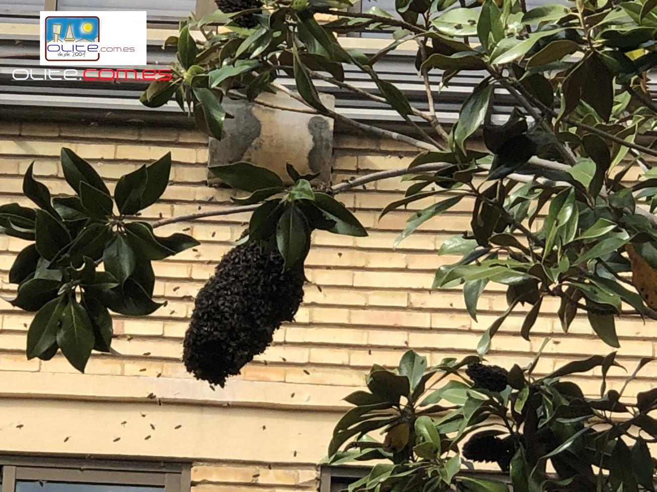 Olite.Un gran enjambre de abejas en la Plaza de la música.